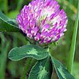 Pink_plant