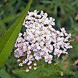 White_plant
