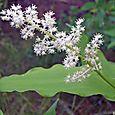 White_spiky_plant