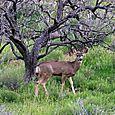 Mule_deer_pse