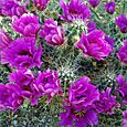 Hedgehog_cactus_blossom_in_pse