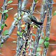 Hummingbird_in_ocotillo