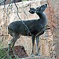 Deer_looking_up