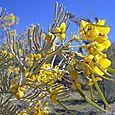 Yellow_flower_pse