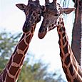 Giraffes_together