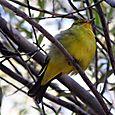 Yellow_bird