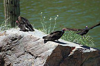 Three-turkey-vultures-web