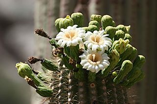 Saguaro-in-bloom