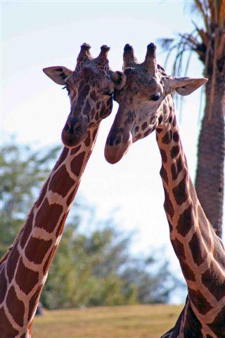 Giraffes_together