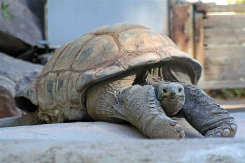 Tortoise_stretching_out