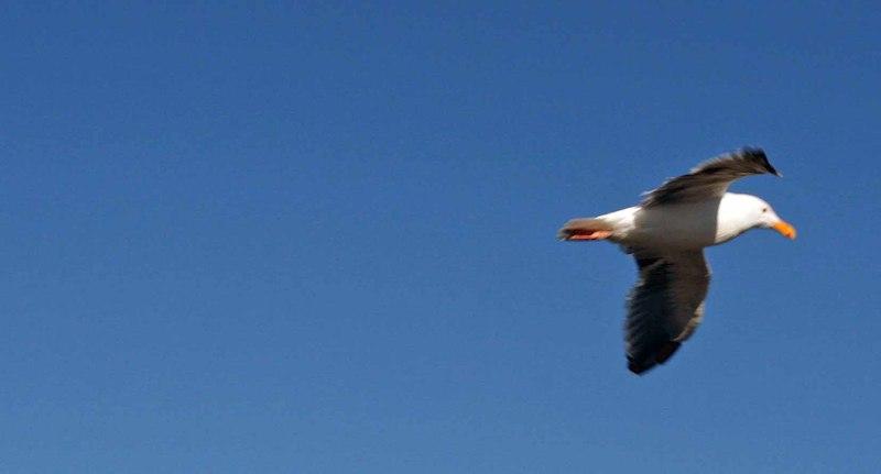 Seagull_flying
